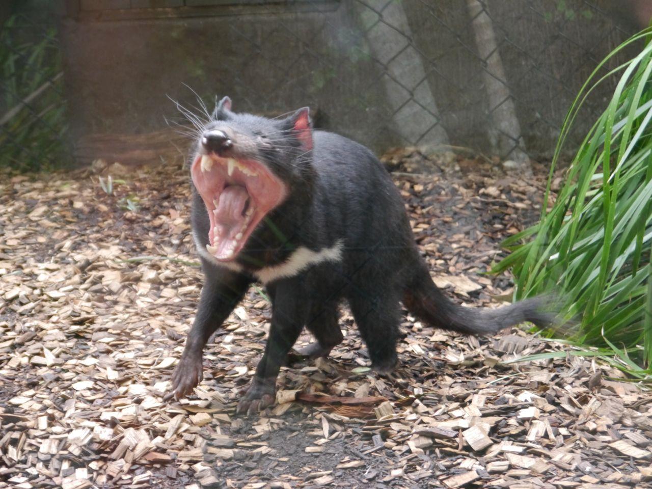 Gähnender (Nicht wütender) tasmanischer Teufel